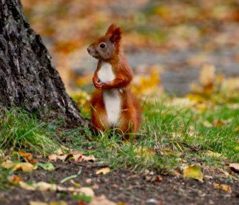 Puzzle wiewiórka – gra online dla dzieci