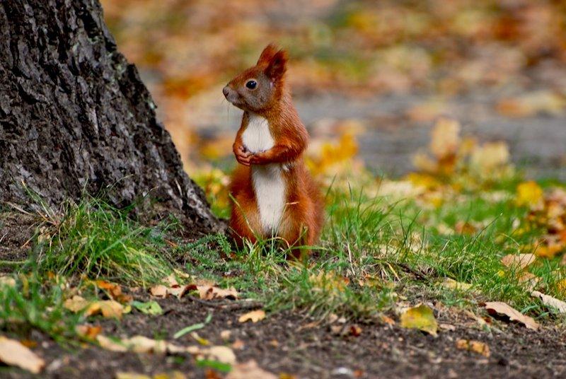 Wiewiórka zagadki o zwierzętach z odpowiedziami