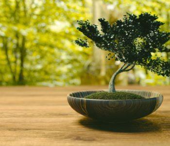 drzewo bonsai wróżby andrzejkowe