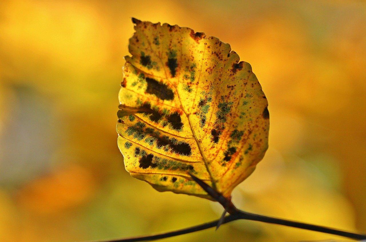 pixabay liść jesień