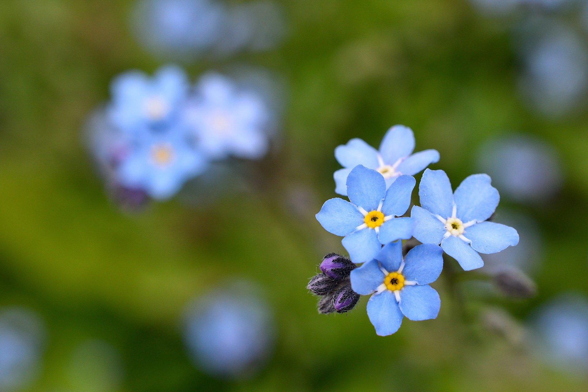 Niezapominajki, piosenka, tekst i melodia. Piosenki dla dzieci o kwiatkach