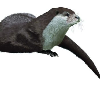 Zwyczaje wydry