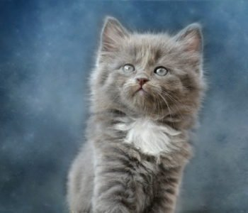 Kot Wasyl