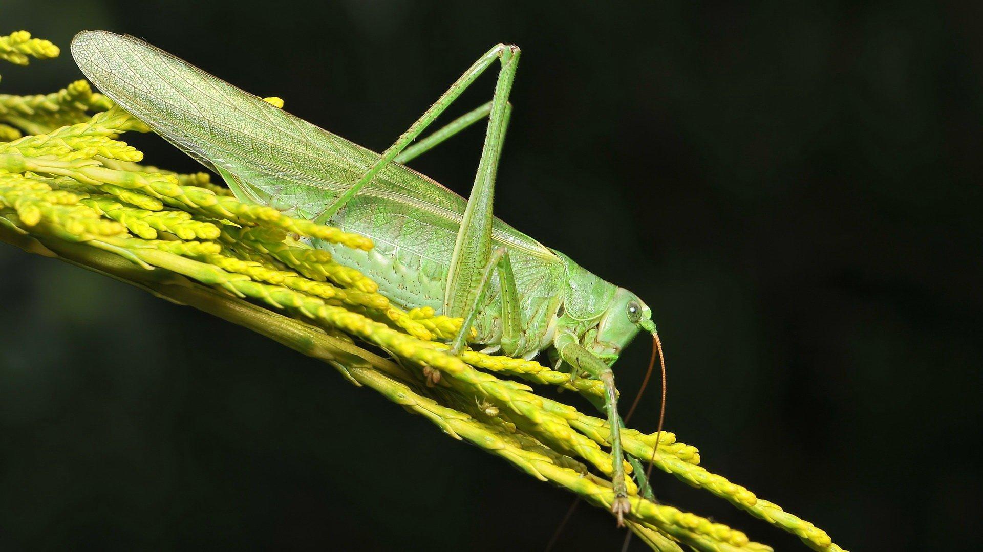 Wierszyk dla dzieci o świerszczu oraz wierszyki o innych owadach