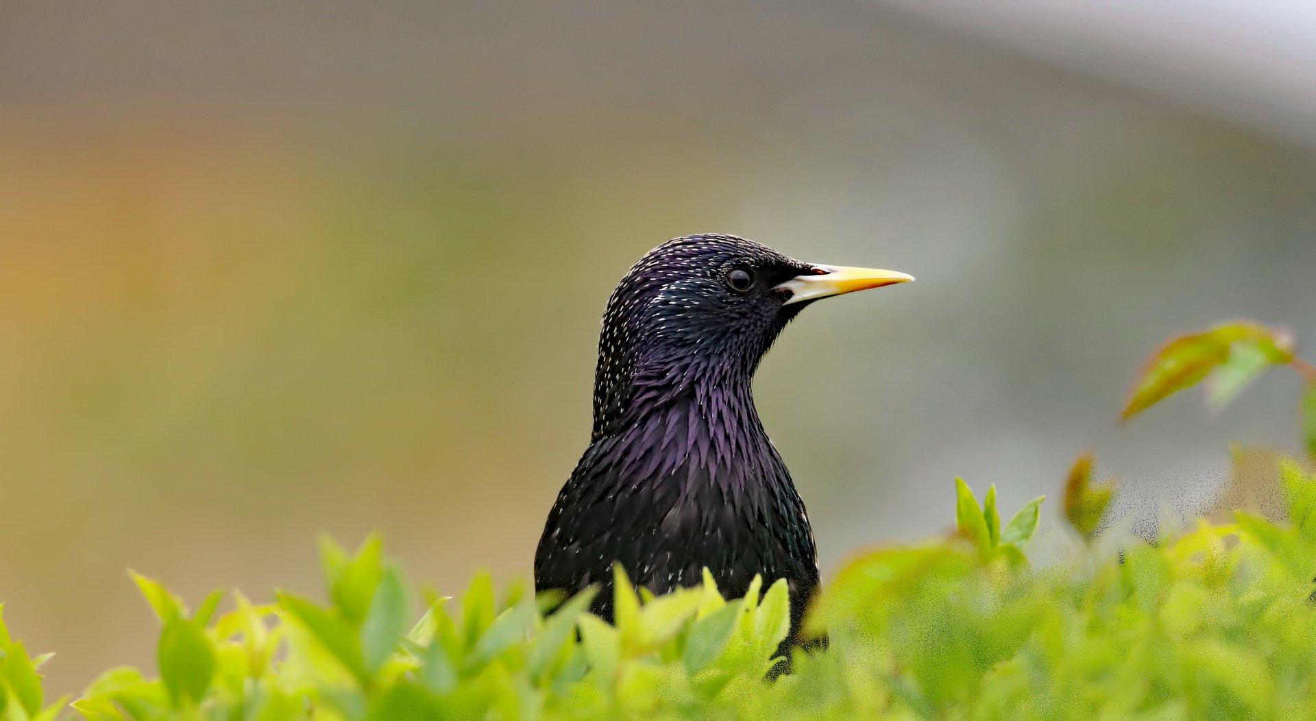 Szpak Edzio, wierszyk dla dzieci o ptakach