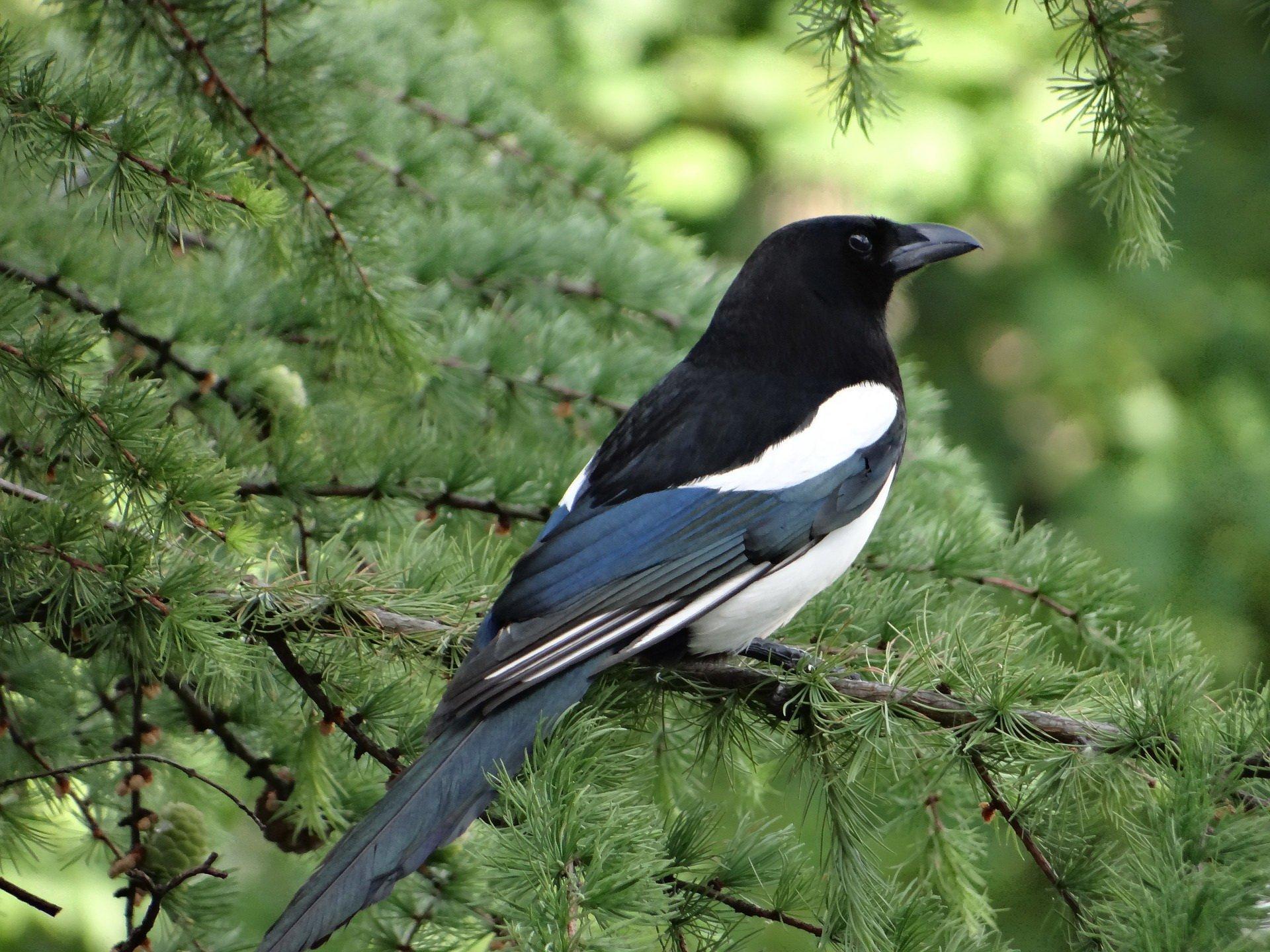Sroczka złodziejka, wiersze dla dzieci o ptakach