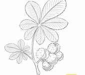 Rośliny Polski kasztany
