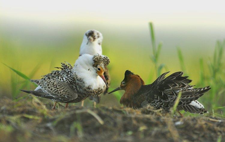 Batalion ptaki w Polsce