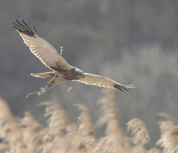 Błotniak stawowy ptaki w Polsce