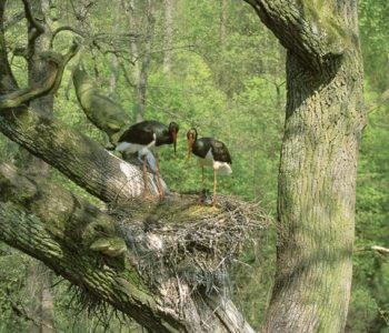 Bocian czarny ptaki polskie