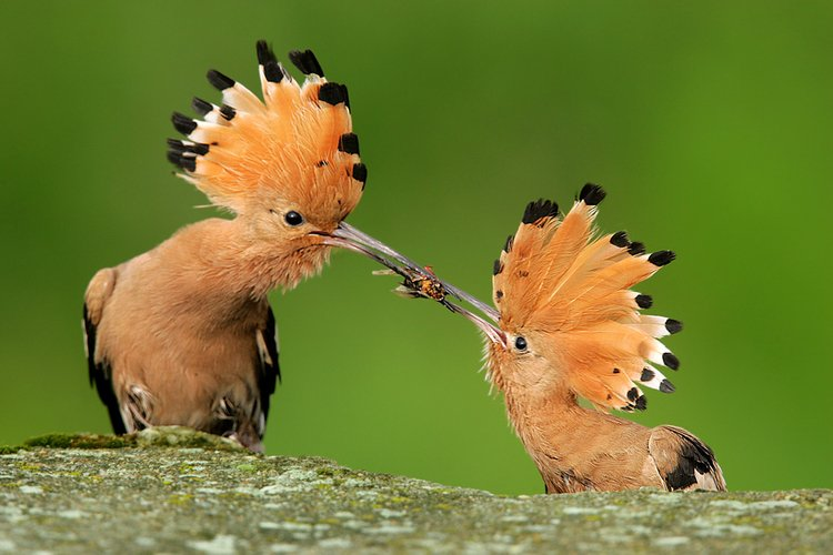 Dudek ptaki polskie