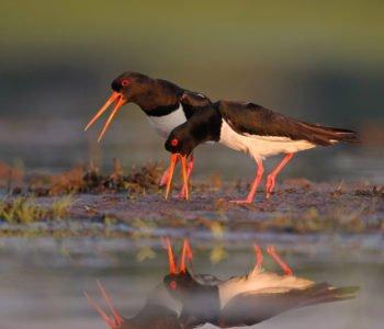 Ostrygojad ptaki w Polsce