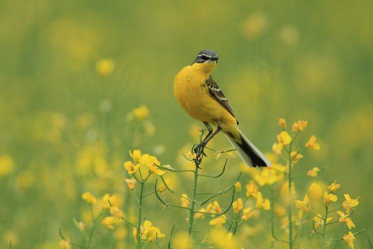 Pliszka zwyczaje ptaków