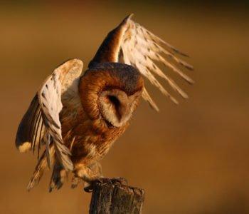 Płomykówka polskie ptaki
