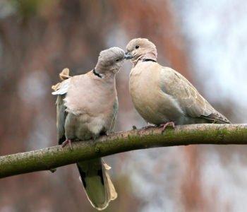 Sierpówka cukrówka ptaki