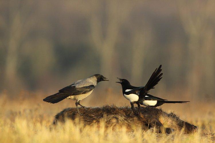Sroka polskie ptaki