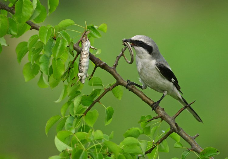 Srokosz ptak