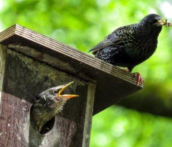 Szpaki ptaki zwyczaje