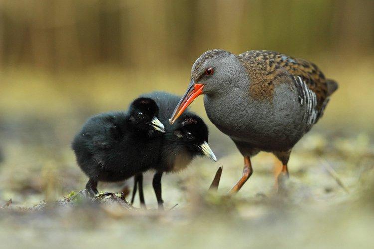 Wodnik ptak