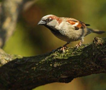 Wróbel polskie ptaki