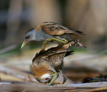 Zielonka ptaki w Polsce