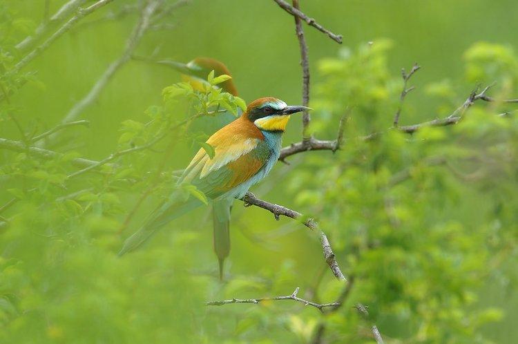 Żółna ptaki w Polsce