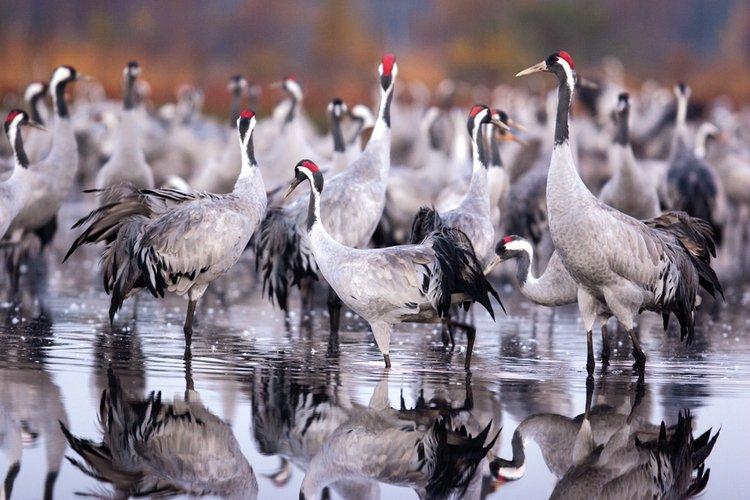 Żuraw ptaki w Polsce