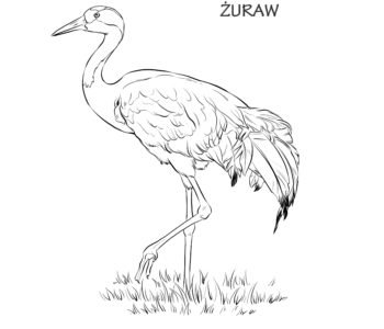 Żuraw kolorowanka