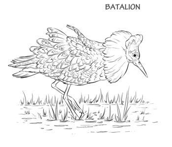 Batalion kolorowanka