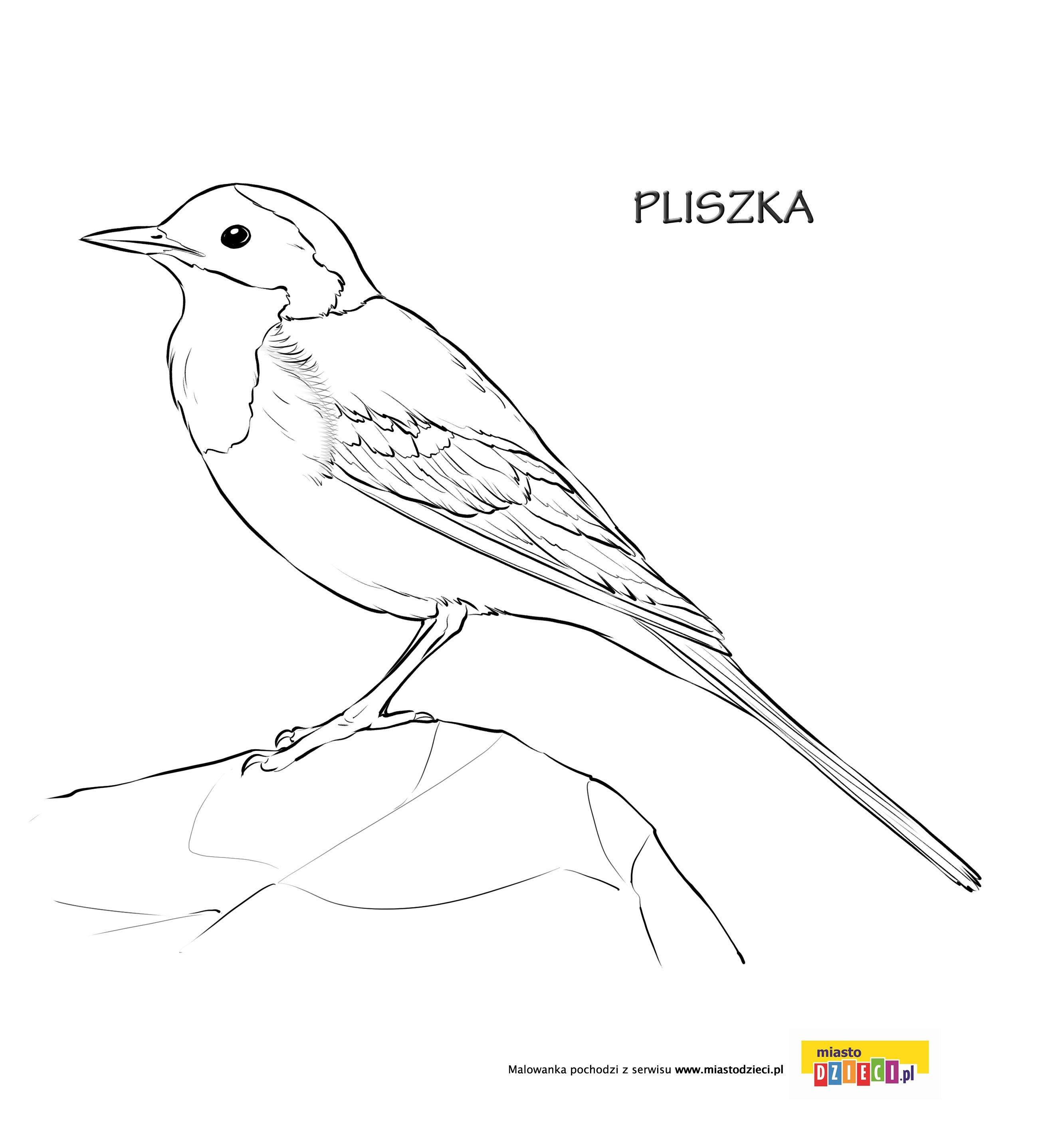 Kolorowanka Ptak Pliszka