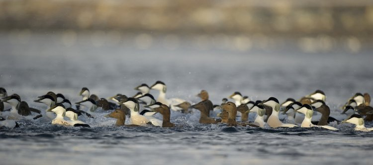 Edredon ciekawostki o ptakach