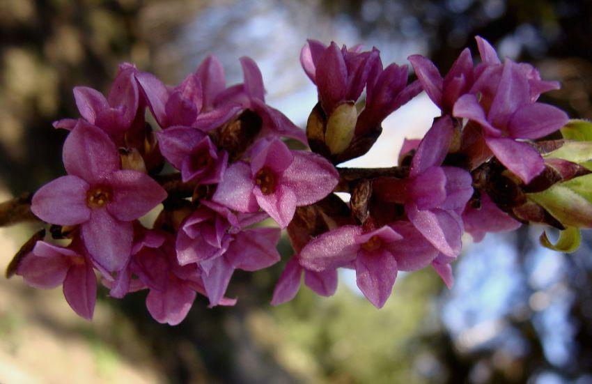 Kwitnący wawrzynek wilczełyko w Ogrodzie Botanicznym UMCS w Lublinie
