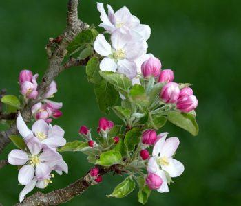 Jabłonka, wierszyk d;a dzieci na wiosnę Maria Konopnicka