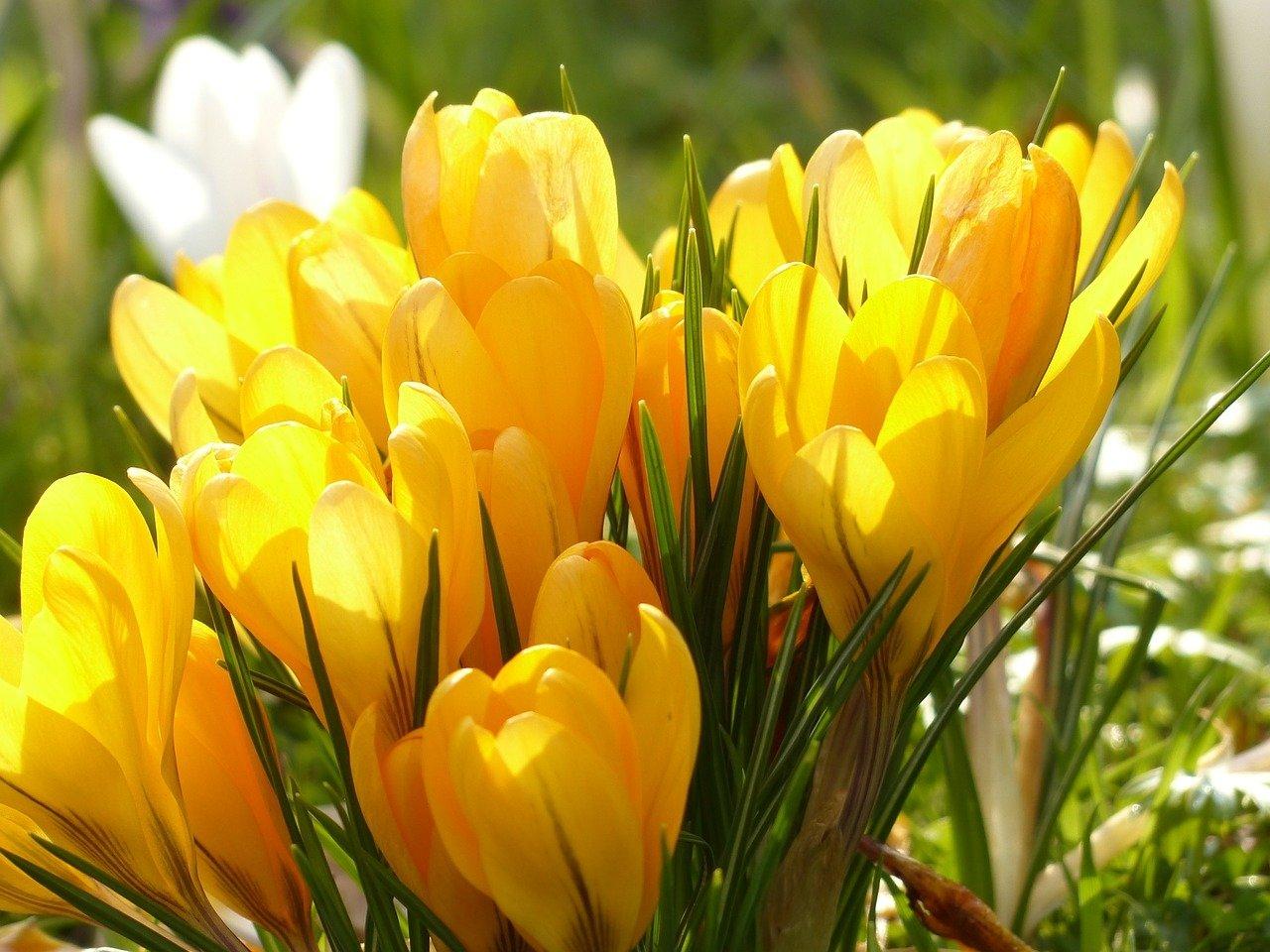 Krokusy wystawiają uszy, wierszyk dla dzieci na wiosnę