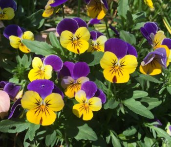 Kwiatki – bratki