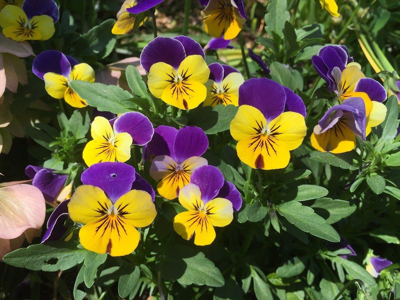 Kwiatki - bratki, wiosenna piosenka dla dzieci tekst i melodia
