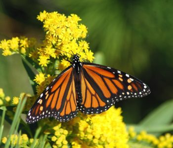 Piosenka motylka, wierszyk wiosenny dla dzieci