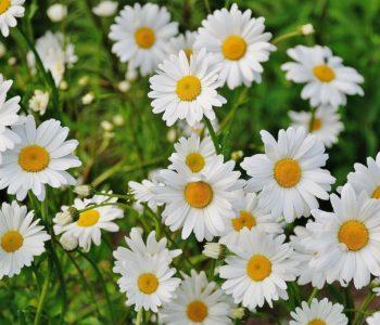 Poleczka kwiatowa