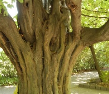 Grube drzewo