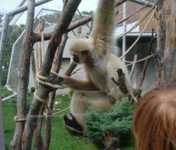 Ach te małpy