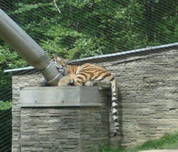 Drapieżne koty