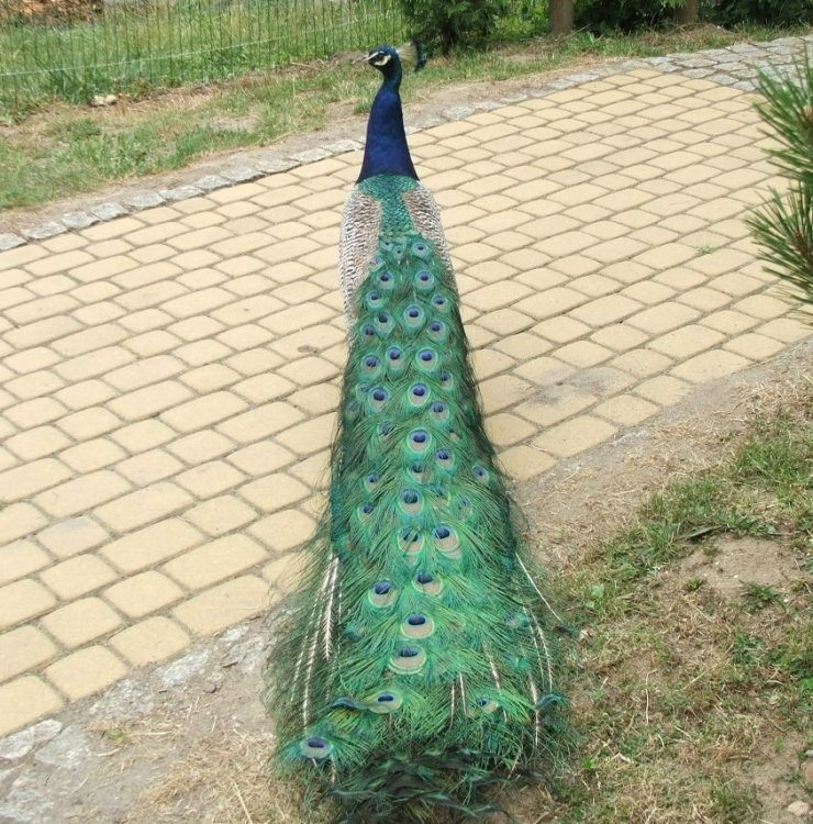 Paw z ogrodu zoologicznego w Opolu.