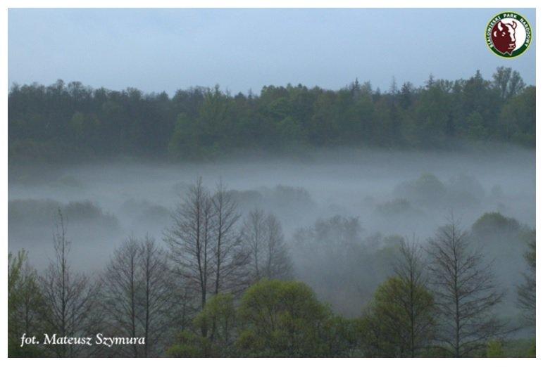 Puszcza Białowieska - zamglony las