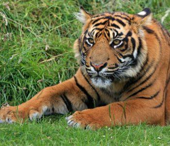 tygrys pixabay
