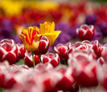 Śpioch tulipan, wierszyk na powitanie wiosny