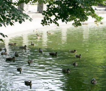 Kaczki na stawie
