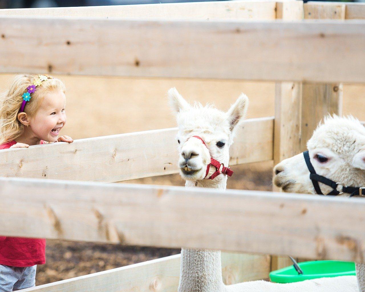 zoo dziecko lama