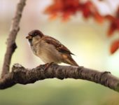 wróbel ptak