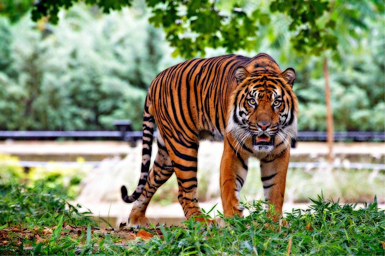 pixabay zoo zwierze tygrys