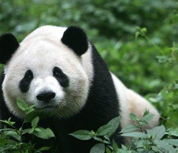 panda plenerowe
